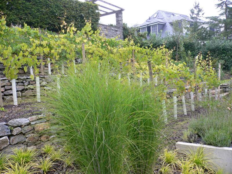 Gräser | Lavendel | Weinreben