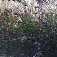 Gras mit lila Blüten