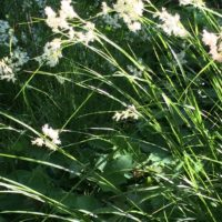 Gras mit weißen Blüten